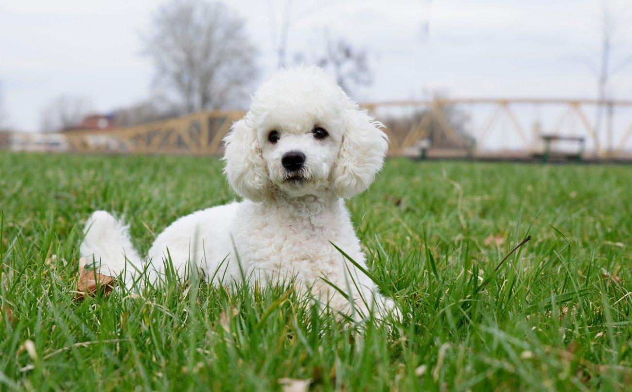Chó thông minh nhất thế giới - Poodle