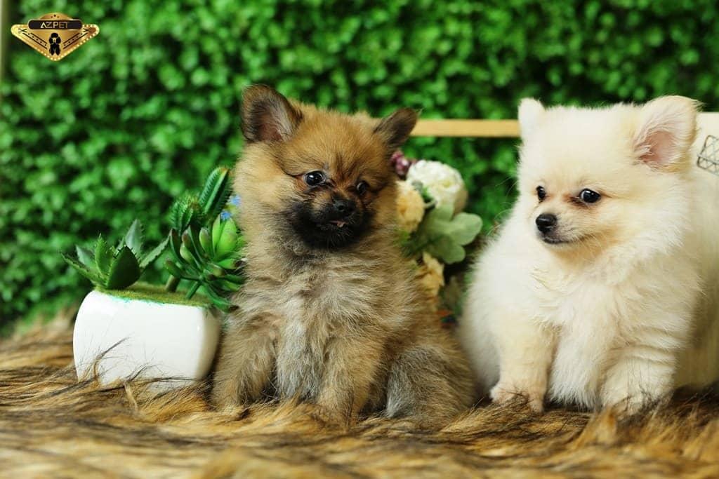 Chó Phốc Sóc Pomeranian