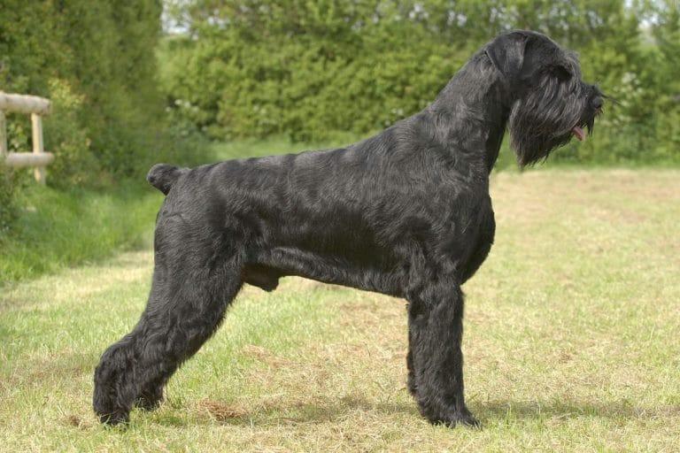 Chó Giant Schnauzer