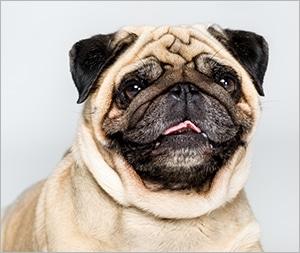 chó pug mặt xệ đáng yêu
