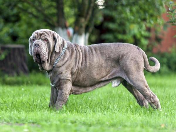 chó to nhất thế giới