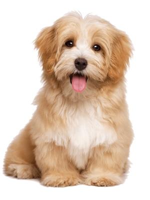 Giống Chó Cảnh