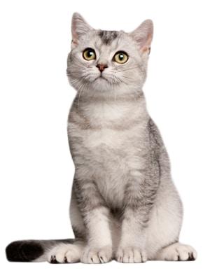 Giống Mèo Cảnh