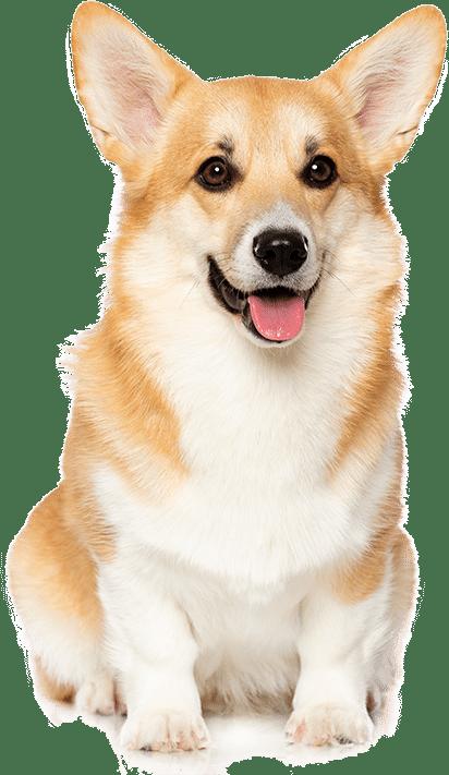 Nguồn gốc chó corgi