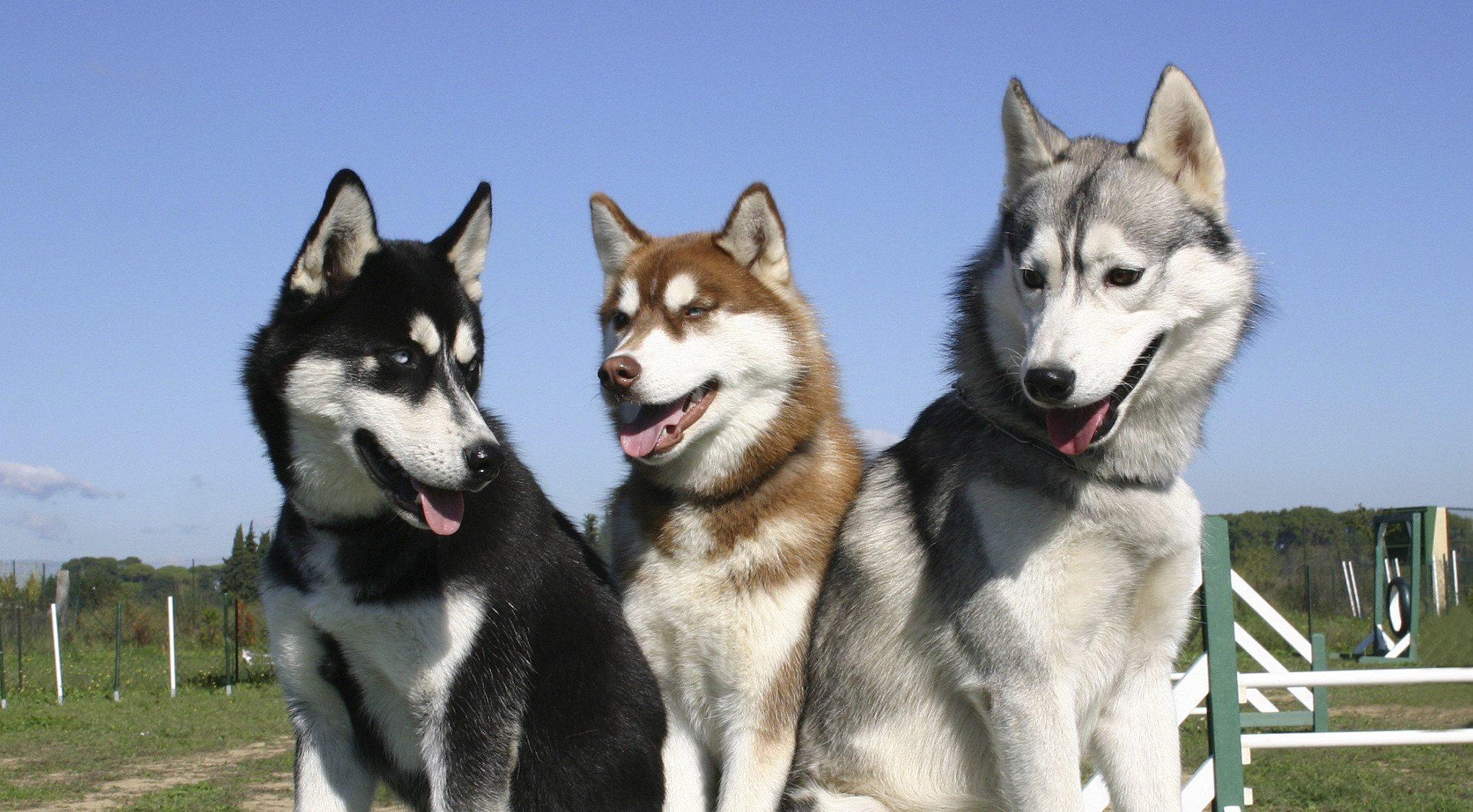 Chó đẹp nhất thế giới - Chó husky