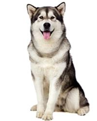 Chó Alaskan malamute