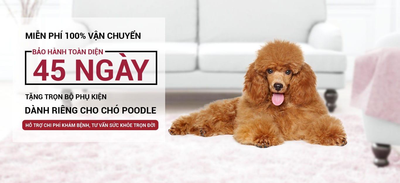 banner poodle desktop