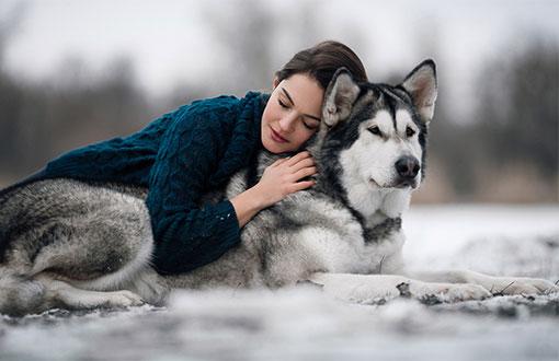 chó alaska trung thành tuyệt đối