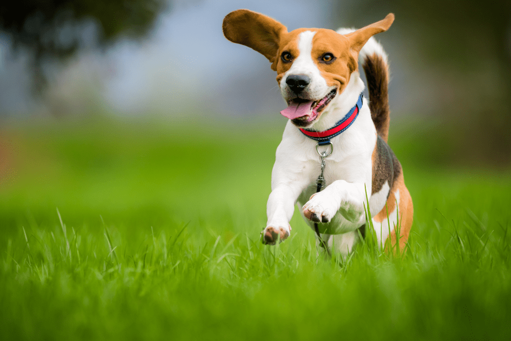 chó săn thỏ beagle