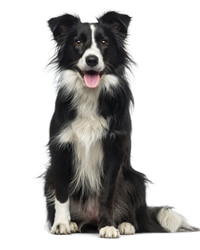 chó border collie