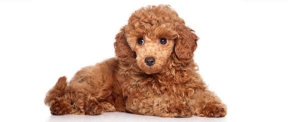 chó poodle không rụng lông