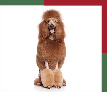 dòng standard poodle
