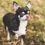 chó nhỏ nhất thế giới