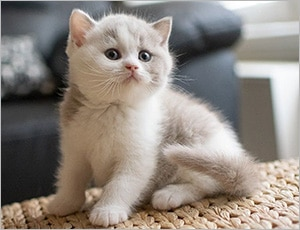 Mèo anh đáng yêu