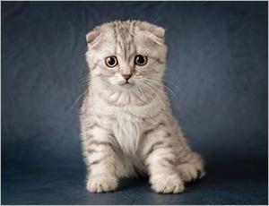 mèo scrottish sắc lông đa dạng