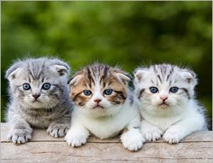 mèo scottish tai cụp đáng yêu