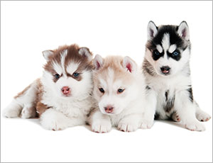 Lý do chọn mua Husky