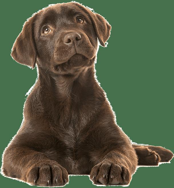 Bảng giá chó Labrador
