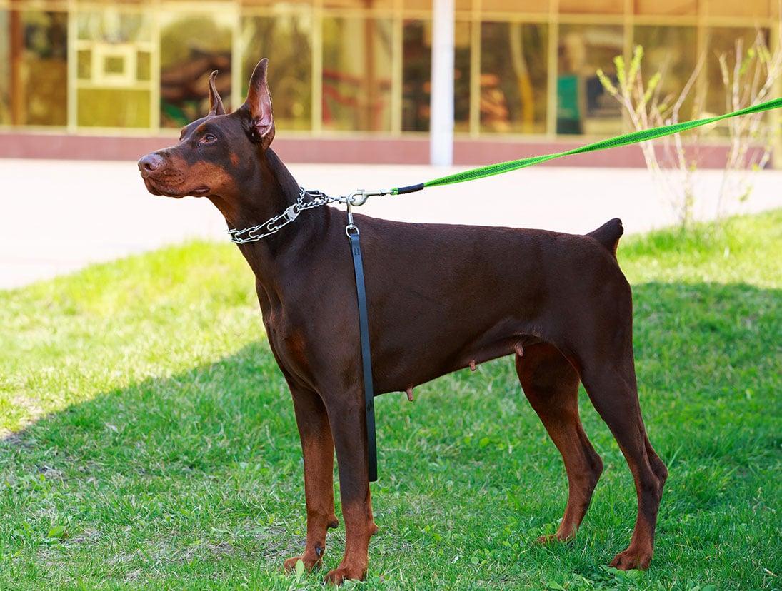 Chó Doberman rất trung thành