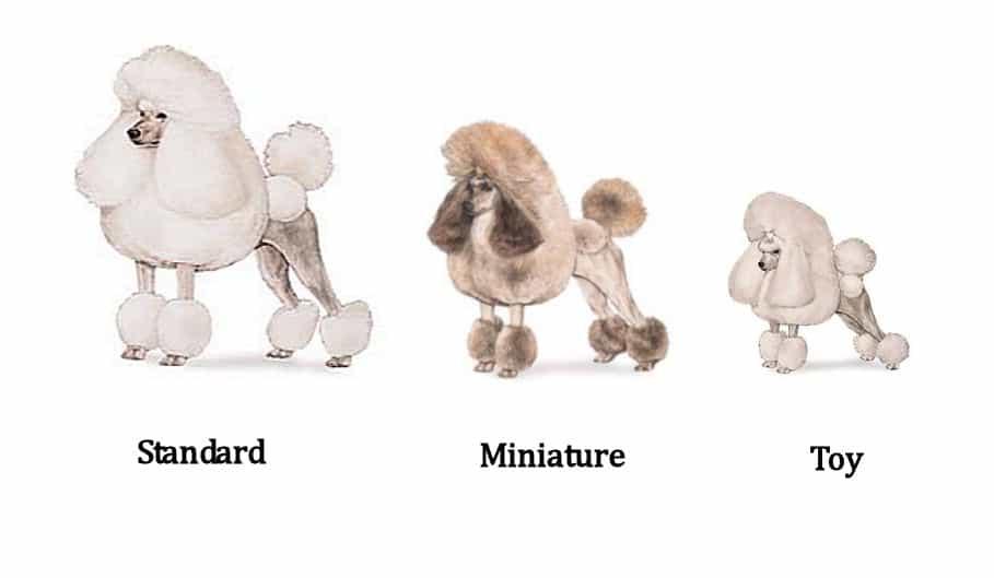 poodle có 3 kích cỡ