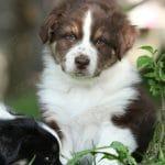 Australian Shepherd Nâu Trắng