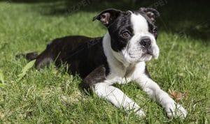 Boston Terrier Đen Trắng