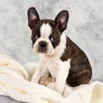 Boston Terrier Trắng Vện
