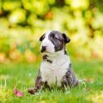 Bull Terrier Trắng Vện