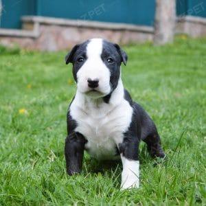 Bull Terrier Đen Trắng
