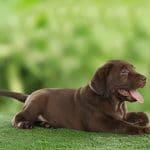 Labrador Socola