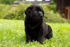 Labrador Đen