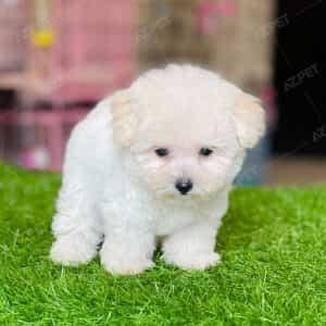 Poodle Tiny Trắng