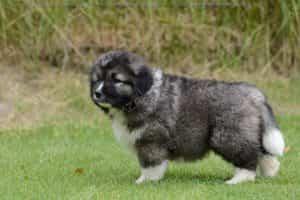 Caucasian Shepherd Đen Trắng