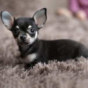 Chihuahua Đen Vàng