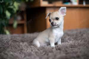 Chihuahua Vàng Kem