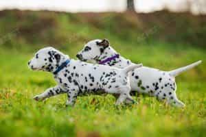 Dalmatian Đen Trắng