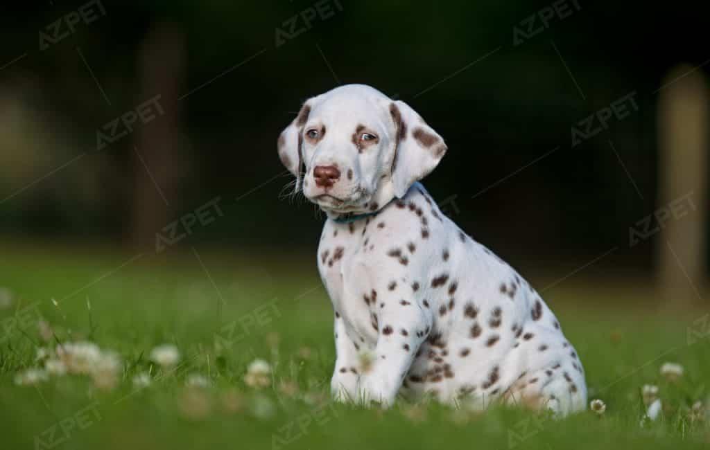 Dalmatian Nâu Trắng