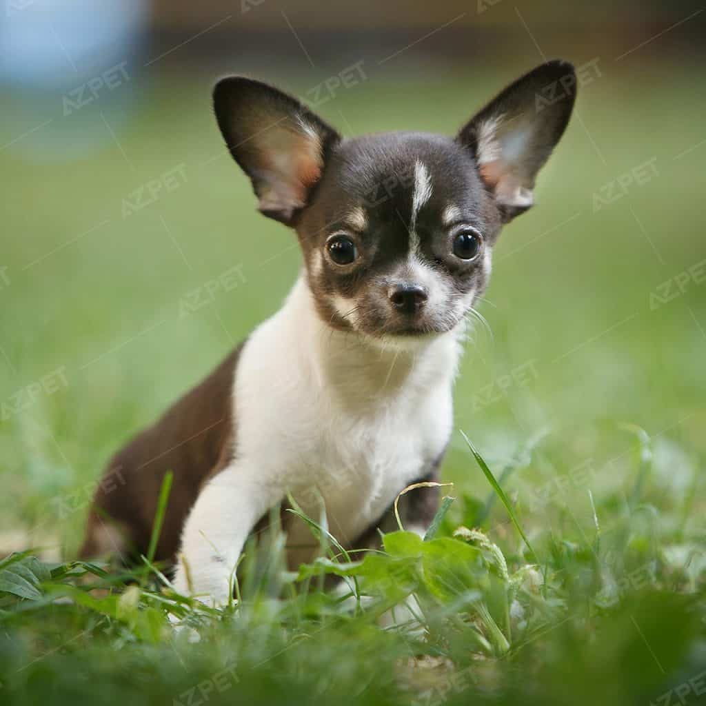 Chihuahua Đen Trắng