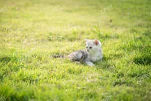 American Shorthair Grey Tabby