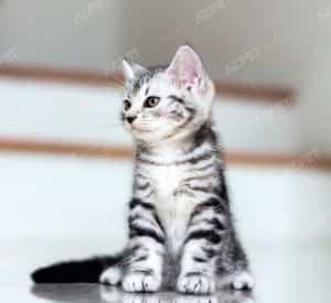 American Shorthair Black Tabby