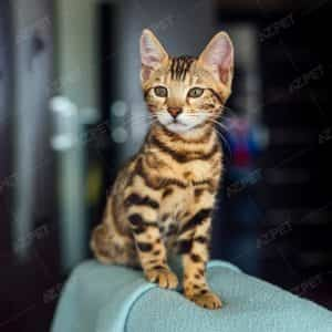 Bengal Brown Spotted
