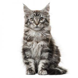 mèo Maine Coon