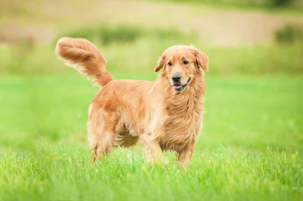 Chó golden thông minh, nhanh nhẹn