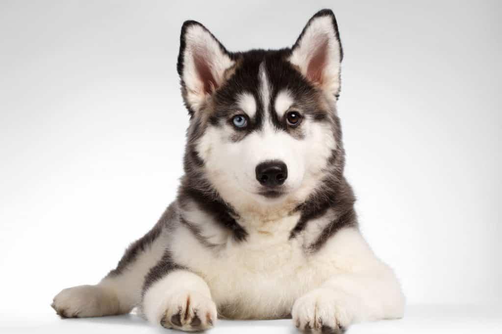 Lưu ý khi nuôi dạy chó husky