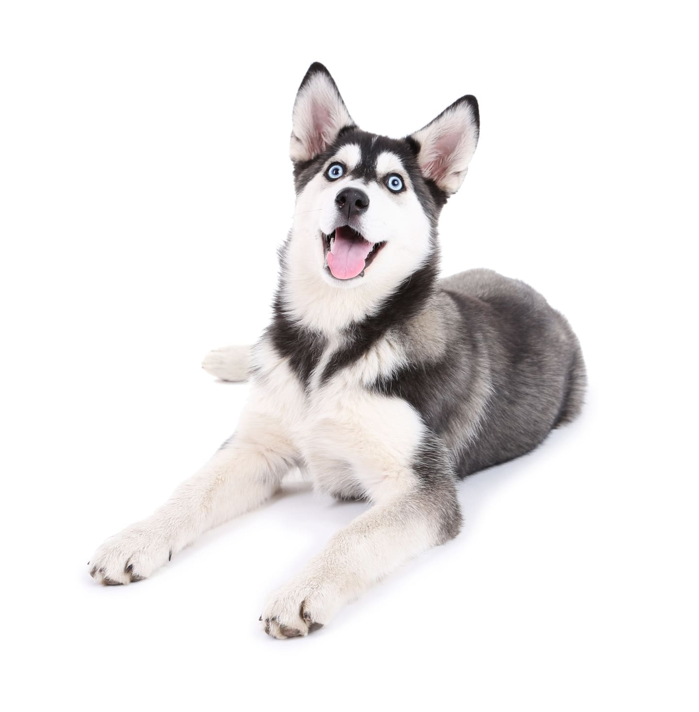 Chó husky có biểu cảm độc đáo