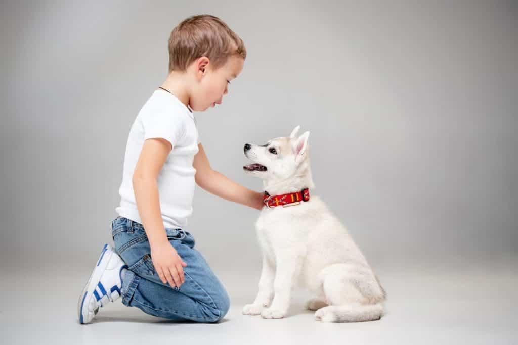 Chó husky rất trung thành