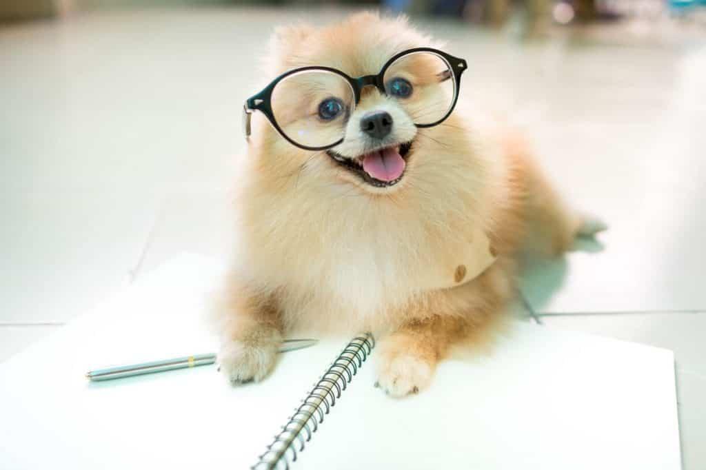 Chó phốc sóc thông minh, lanh lợi
