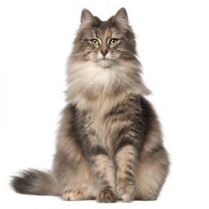 Mèo Rừng Nauy
