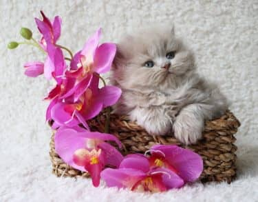 Anh Lông Dài Lilac