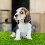 Beagle Tricolor